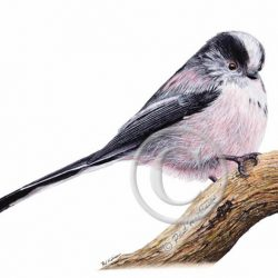Giclée Watercolour Wildlife Print, Garden Bird - Long Tailed Tit
