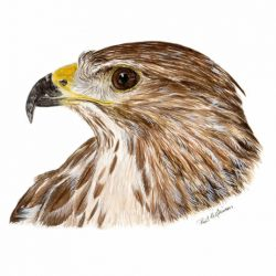 Bird of Prey Watercolour Print, Realistic Buzzard