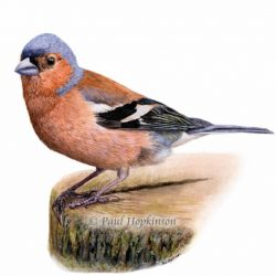 Watercolour Bird Giclée Print, Chaffinch Painting
