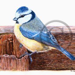 Watercolour Blue Tit Print by Paul Hopkinson