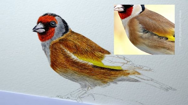 How to paint a popular garden bird watercolour illustration, step 3