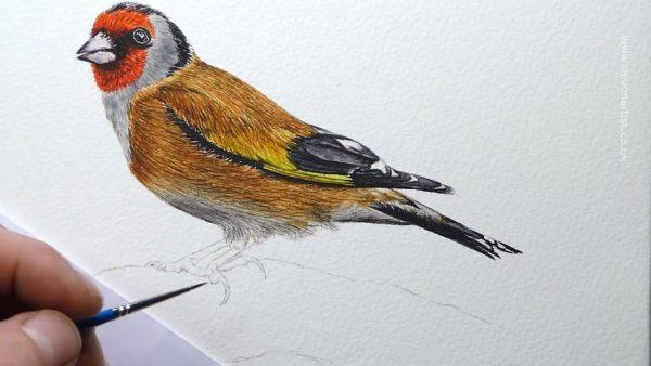 How to paint a popular garden bird watercolour illustration, step 4