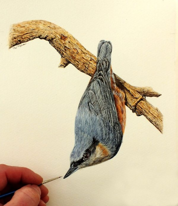 Nuthatch watercolour illustration by Paul Hopkinson