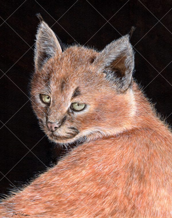 Caracal painted in realistic watercolour by Paul Hopkinson