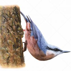 Giclée Print of a Garden Bird, Realistic Watercolour of a Nuthatch