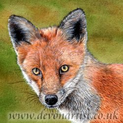 Fox in watercolour by Paul Hopkinson