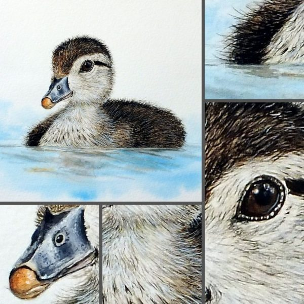 Close up photos of a wood duck in watercolor by Paul Hopkinson