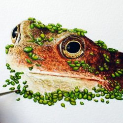 Watercolour painting of a frog by Paul Hopkinson