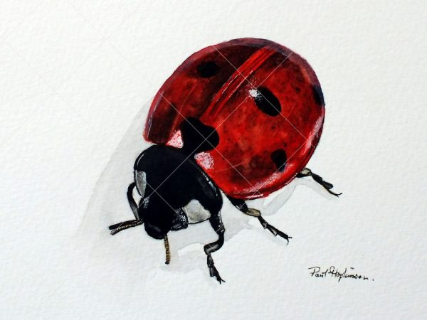Ladybird painted in realistic watercolour by Paul Hopkinson