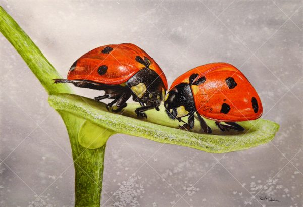 Ladybirds painted in realistic watercolour by Paul Hopkinson