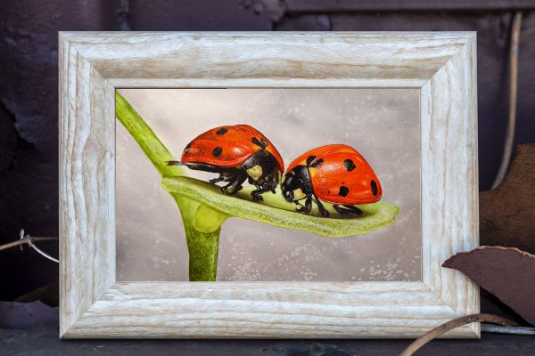 Watercolour ladybird painting by Paul Hopkinson displayed in a rustic frame