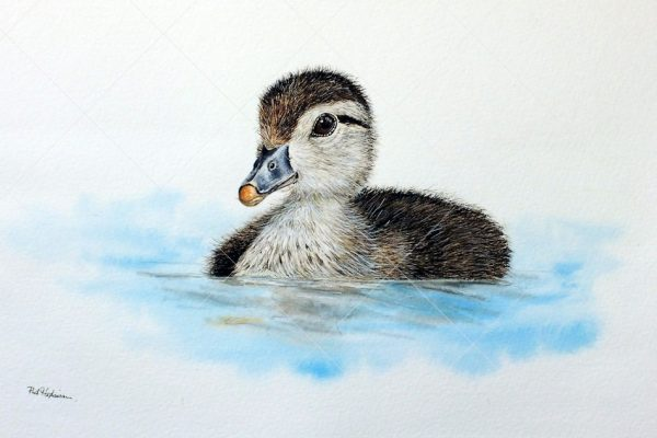 Wood Duckling painted in watercolour by Paul Hopkinson