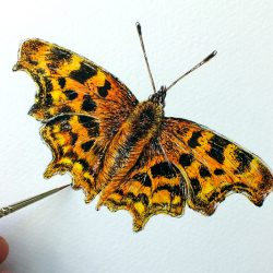 Original watercolour painting of a butterfly by Paul Hopkinson