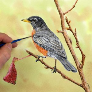 American Robin painted in realistic watercolor by Paul Hopkinson
