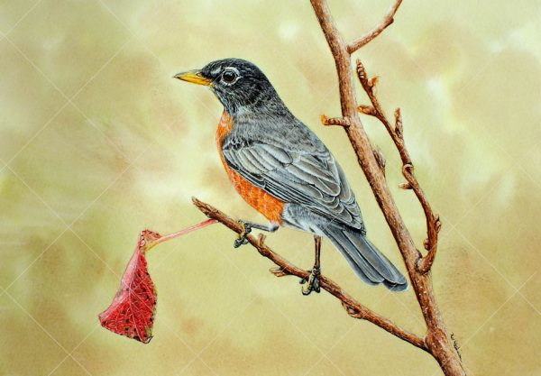 American robin painted in watercolour by Paul Hopkinson