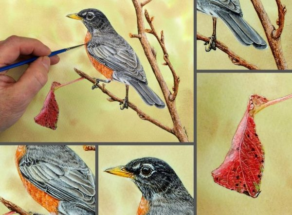 Close up photos of an American robin watercolor painting by Paul Hopkinson