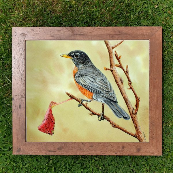 Framed realistic American robin by Paul Hopkinson