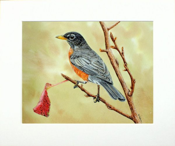 Watercolour painting of an American robin by Paul Hopkinson, shown in a neutral mount
