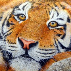 How to paint a tiger in detailed watercolour, step by step tutorial
