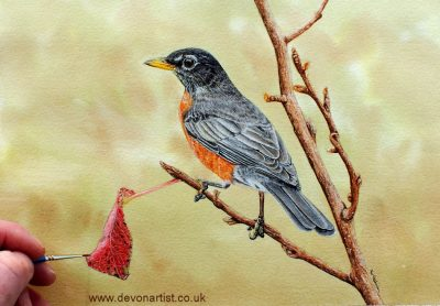 How to paint an American Robin in watercolour, PDF tutorial
