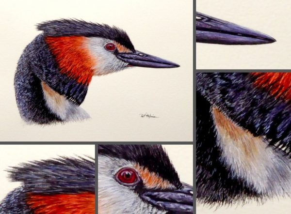 Close up photos of a grebe watercolor painting by Paul Hopkinson
