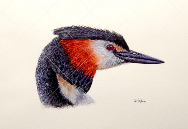 Grebe painted in watercolour by Paul Hopkinson