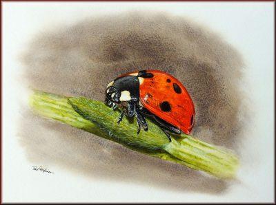 Ladybug in watercolor by Paul Hopkinson