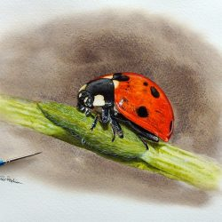 Ladybug in watercolor by Paul Hopkinson