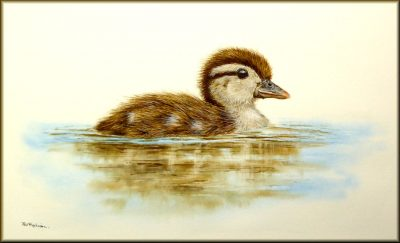 Wood Duckling in watercolour by Paul Hopkinson