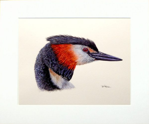 Watercolour painting of a great crested grebe by Paul Hopkinson in a neutral mount
