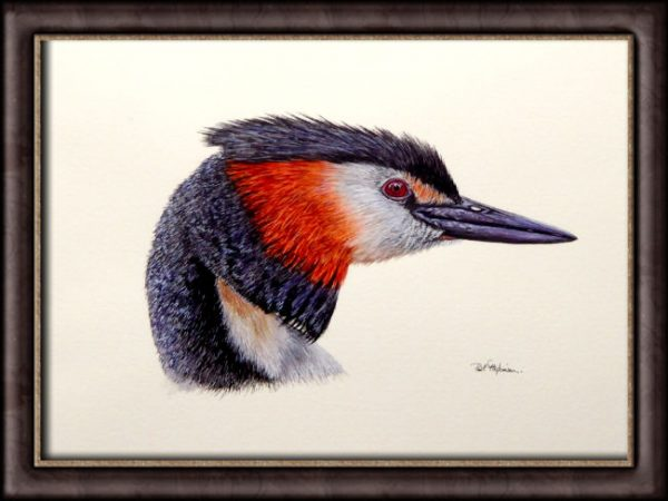 Watercolour painting of a grebe by Paul Hopkinson framed
