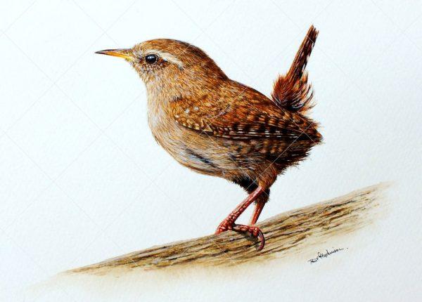 Wren painted in watercolour by Paul Hopkinson