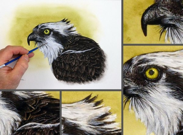 Close up photos of an osprey watercolor painting by Paul Hopkinson