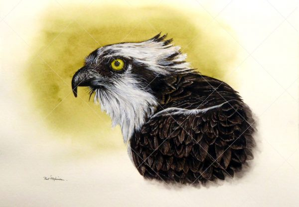 Osprey painted in watercolour by Paul Hopkinson
