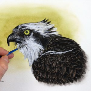 Paul Hopkinson painting a realistic osprey portrait in watercolor