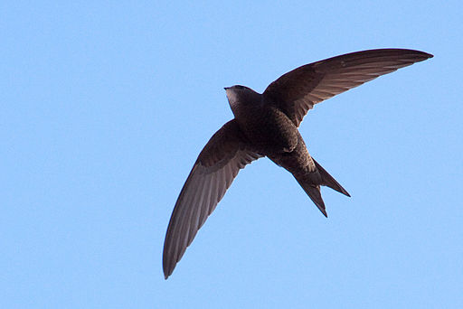Photograph of a swift