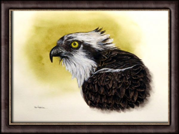 Framed watercolour painting of an osprey by Paul Hopkinson