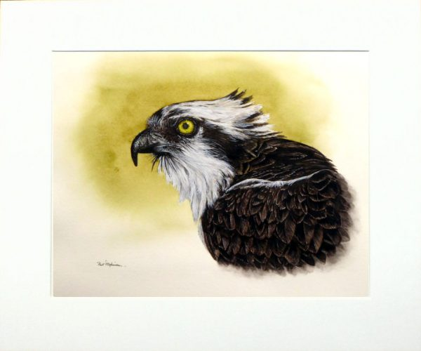 watercolour painting of an osprey by Paul Hopkinson in a neutral mount