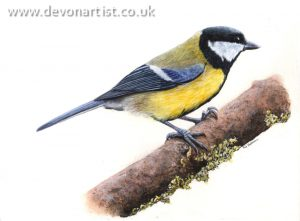 Wildlife artist bird illustrations, this one is a Great Tit