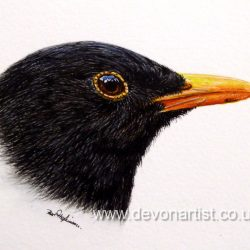 Male blackbird in watercolour