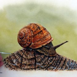 Garden snail painted in watercolour by Paul Hopkinson