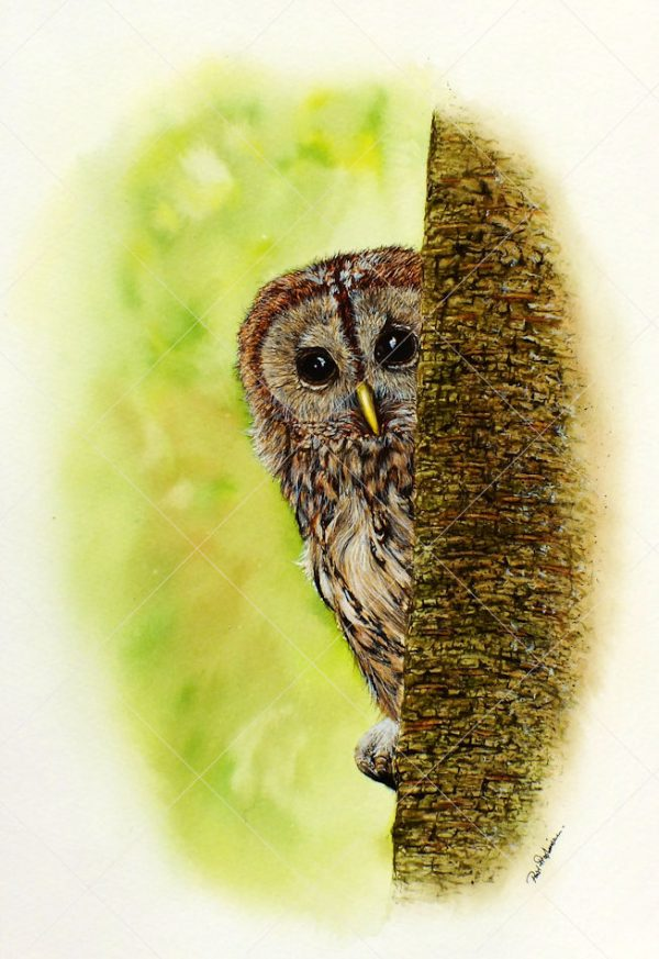 Tawny owl painted in realistic watercolour by Paul Hopkinson