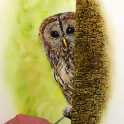Tawny owl painted in watercolour by Paul Hopkinson