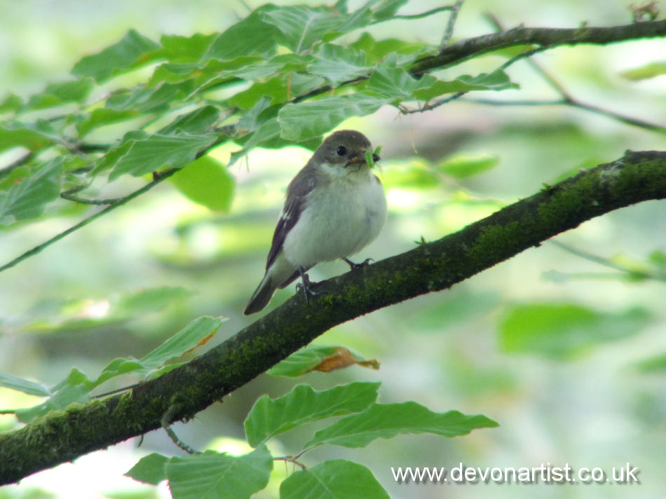 Female Pied Flycatcher photographed on Exmoor