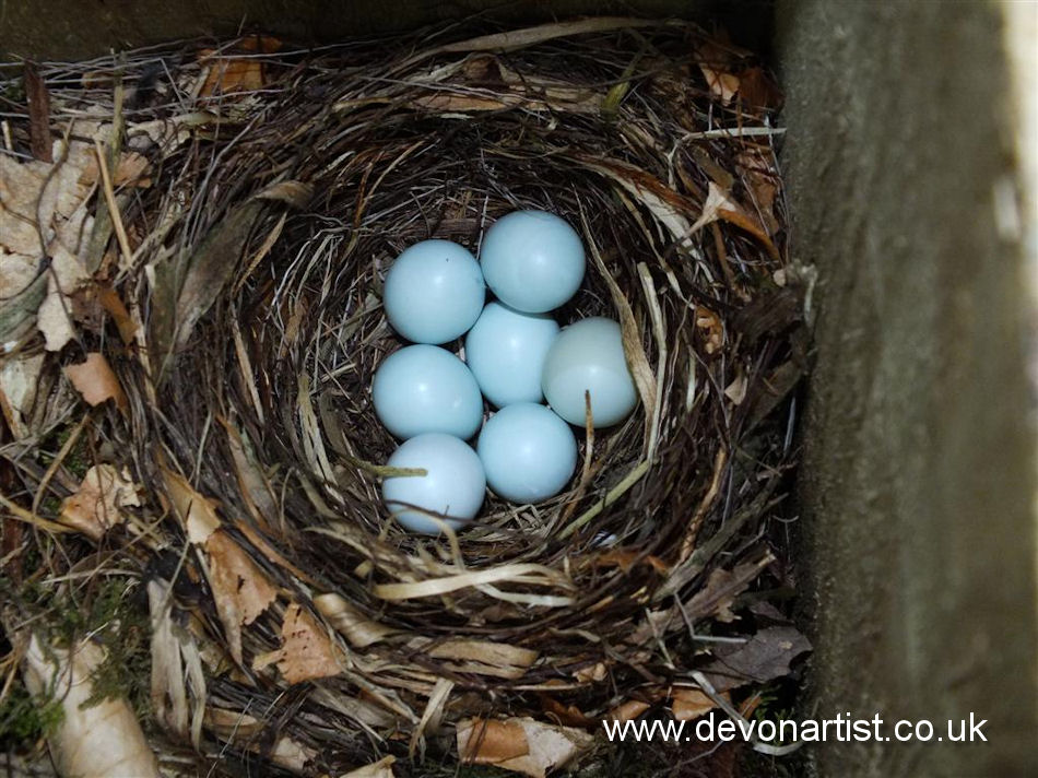 Pied Flycatcher Eggs