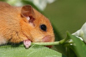Hazel Dormouse Photo