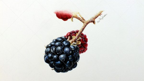 Blackberries painted in watercolour by Paul Hopkinson