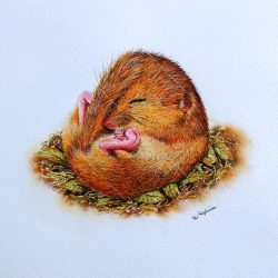 Detailed Watercolour Painting of a Dormouse by Paul Hopkinson