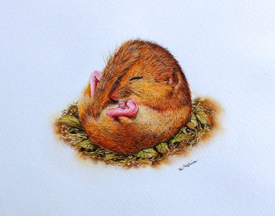 Detailed Watercolour Painting of a Dormouse