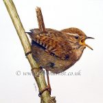 Watercolour painting of a Eurasian Wren